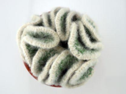 kaktus mózgowiec