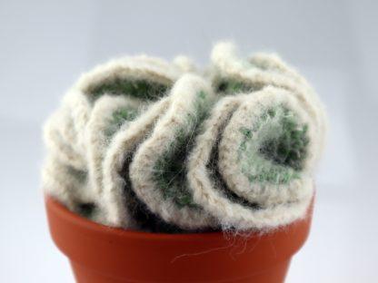 kaktus mózgowiec w doniczce